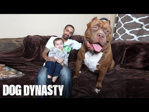 Meet 'Hulk': The Giant 175lb Family Pit Bull