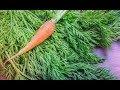 Польза морковной ботвы.