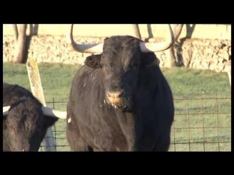 Toros Wapos de la ganaderia Puerto de san lorenzo, toros salva mari.