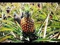 Cultivo de Piña Carcteristicas y recetas - Anana - TvAgro por Juan Gonzalo Angel