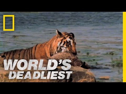 World's Deadliest - Tiger vs. Deer