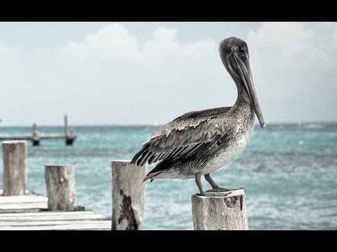 Pelican eating fish