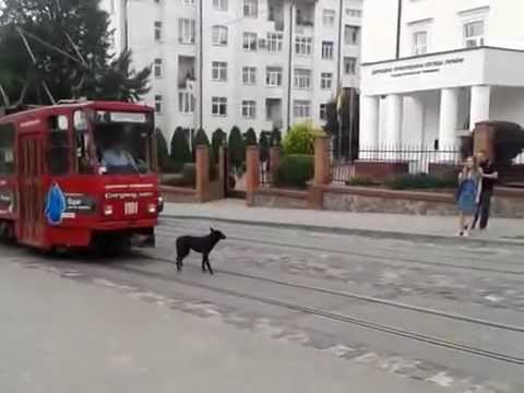 Dog on the tram tracks