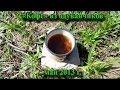 """""""Кофе"""" из одуванчиков (май 2013)"""