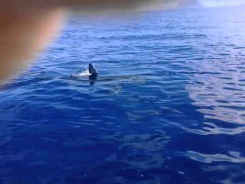 Great White Shark caught on tape by two Fishermen near Kaena Point, Hawaii, January 12, 2012