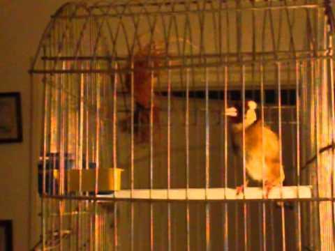 Chant Chardonneret Parva Tunisie - Chant d'oiseaux