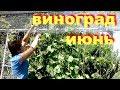 Уход за виноградом в июне   Чем опрыскать виноград от болезней  Чеканка винограда