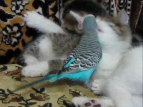 Thumbnail image for 'Budgie and Kitties, BFF's'