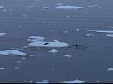 دلافين أوكرا تصيد عجل البحر للتدرب عليه ثم تتركه
