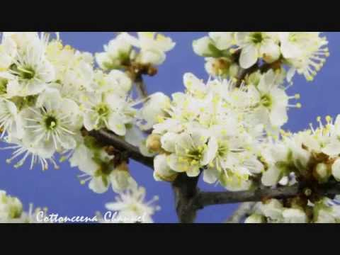 Spring Apple Blossoms Flowers Opening Time Lapse 5 Speeds