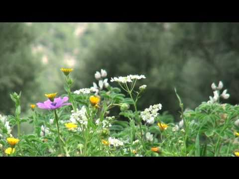 Flowers from Ymittos mountain Athens.Relaxation video. Rain & bird songs-HD 1080 (No music)