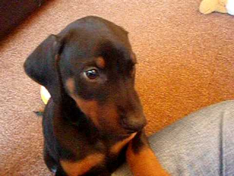 Dobermann Puppy Olive at 8 Weeks Old poster