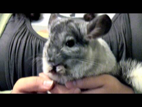 Cute Chinchilla Burglar!!!