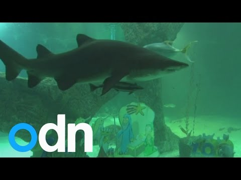 Divers swim with sharks to set up underwater nativity scene
