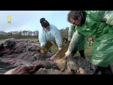 National Geographic - Animal Autopsy - Whale