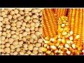 Alimentação de Gado de Corte - Milho e Soja - Cursos CPT