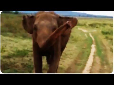 Wild Elephant Chases Tourists