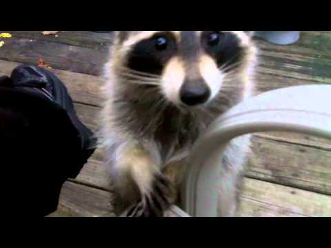 Raccoon begging for food