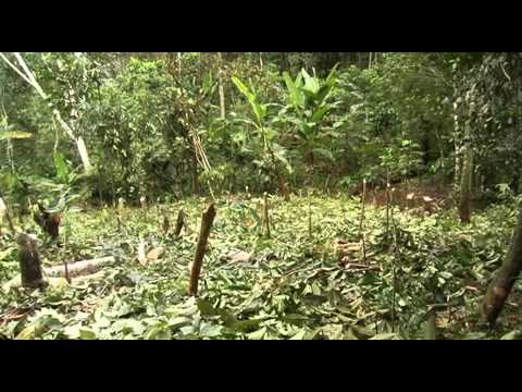 Producción de Cacao en Sistemas Agroforestales en Palcazu, Perú
