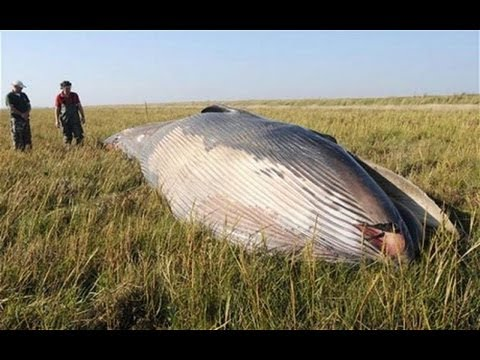 Beached Whale Found 1 Mile inland and other Weird Animal News!