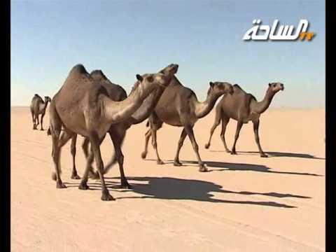 مزاين الكويت 2014 | الكايفات | منقية / محمد فهد بن هموس آل حويلة