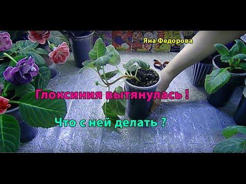 Купить луковицы глоксинии