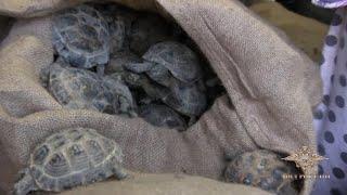 В гараже Оренбурга нашли четыре тысячи незаконно привезённых из Казахстана черепах (16.10.2019 20:09)
