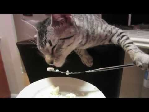 Cat Eats Dinner With a Fork