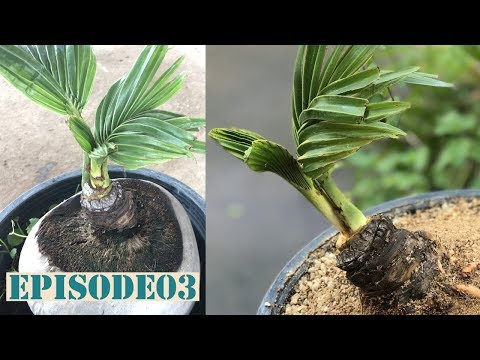 Coconut Bonsai Work Episode 03