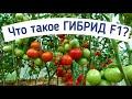 Фрагмент с начала видео СВОИ СЕМЕНА  ТОМАТОВ ГИБРИДОВ F1  ВЫРАЩИВАНИЕ