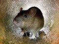 bẫy chuột ,con này khỏe ghê
