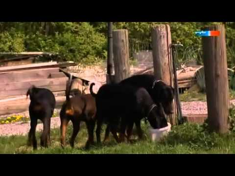 Dobermann - Der harte Hund aus Apolda - Doberman Documentation (with Subtitles). poster