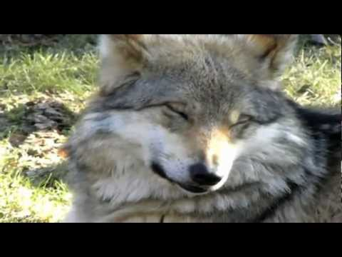 The Beautiful Yet Endangered Grey Wolf (original narration by Randall)