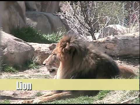 Animals in the Zoo for Kids! - Lion, Zebra and Giraffe