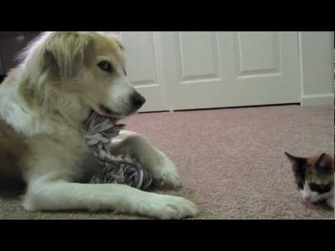 Video 42: Murkin the dog playing with cute adorable kittens
