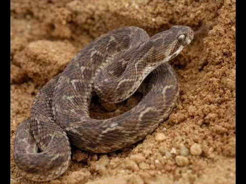 Top 10 Venomous Snakes In India.