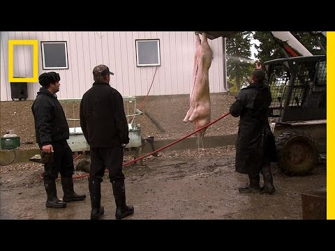 American Colony: Meet the Hutterites - A Pig for the Party