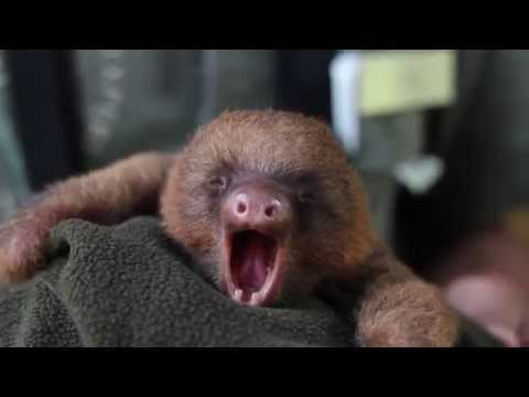 Adorable Baby Sloth Yawning