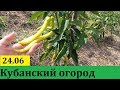 Обзор нашего огорода на 24 июня. ст. Гостагаевская, Анапа