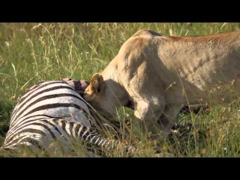 Lioness Eating a Zebra - Masai Mara Safari