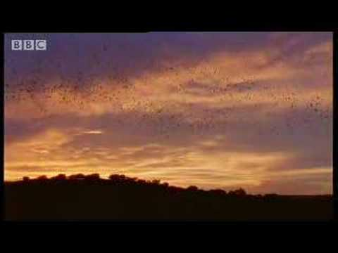 World-s largest bat colony - over 40 million bats - BBC wildlife