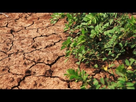 Stock Footage of bean plants in dry, cracked soil in Israel.
