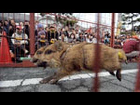 イノシシ、街中のコース疾走 兵庫・篠山「いのしし祭」
