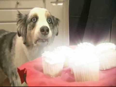 Dog  fixated by magical cupcake platter