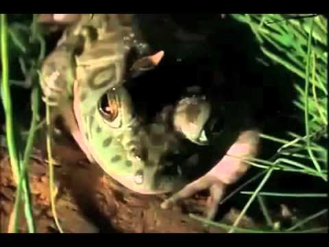 The Gross and Disgusting American Bullfrog (original narration by Randall)