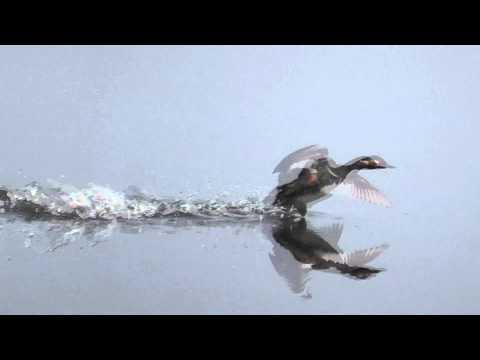 2011 05 22 arnetta e fitodepurazione   svasso piccolo