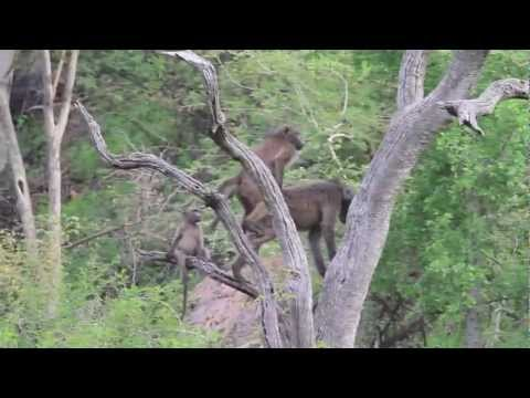 Impodimo Safari Lodge, baboons mating on afternoon game drive (3 of 6) - spinning around the world