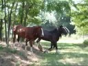 Shire Horse Stallion Herkules and friends