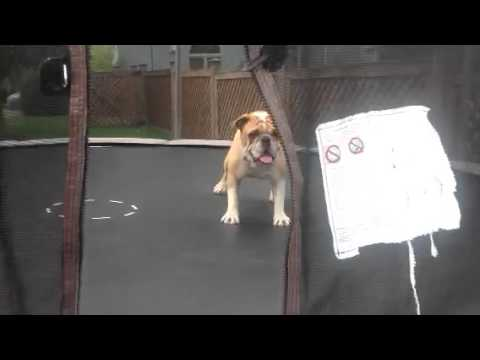 Dog falls in love with trampoline Mudd