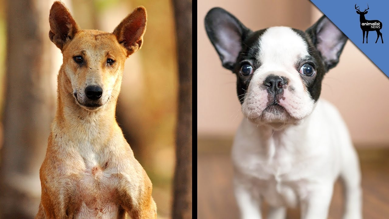 Dogs 101 Dingo.video